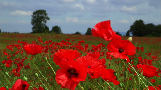 view of the poppy flower field in bristol, england - full stock videos & royalty-free footage