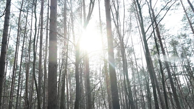 view of the tops of the pines of a forest from below. backlight. germany - pinaceae stock videos & royalty-free footage