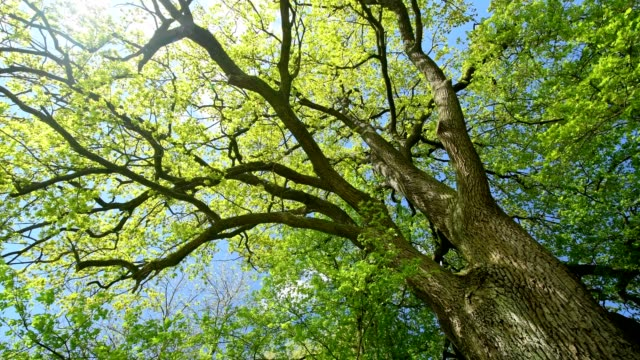 view of the tree tops of a oak tree in the spring, bavaria, germany - oak stock videos and b-roll footage