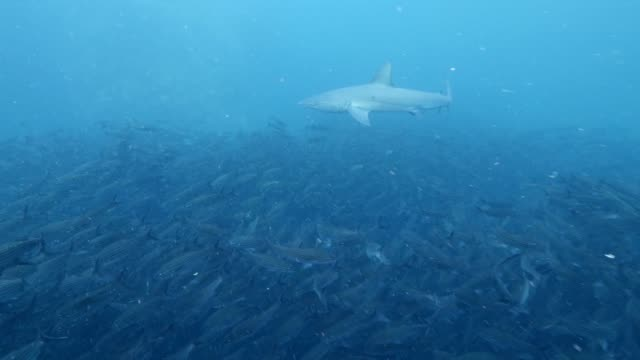 View of the Triaenodon obesus and the group of fish in Galapagos Islands