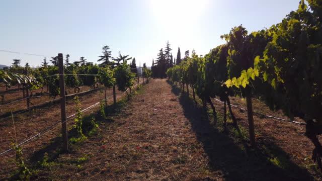 vídeos de stock e filmes b-roll de a view of the vineyards with the young plants at sunset - ramo parte de uma planta