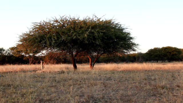 T/L View of thorn tree during sunrise/ Limpopo/ South Africa