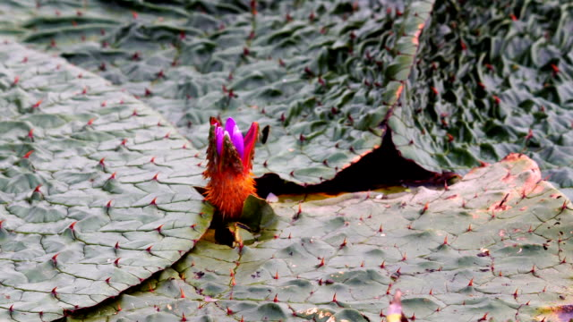View of thorny Lotus water lily in Hamangun