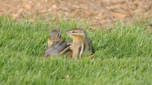 ws view of three baby chipmunks (tamias striatus) and their mother look around in grass directly above their burrow opening and mother finds peanut and takes it to their burrow by jumping over babies / valparaiso, indiana, united states - streifenhörnchen stock-videos und b-roll-filmmaterial