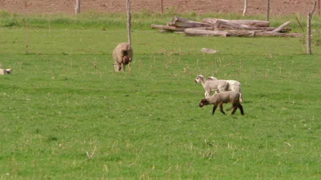vídeos de stock e filmes b-roll de ws ts view of three lambs cross field / kingston, wisconsin, united states - cinco animais