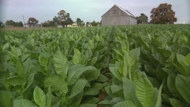 ws pan view of tobacco field / san luis, pinar del rio, cuba - tobacco crop stock videos & royalty-free footage