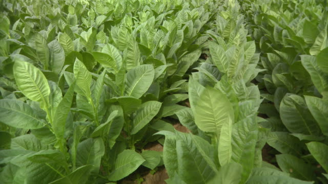 cu pan view of tobacco field / san luis, pinar del rio, cuba - frische stock-videos und b-roll-filmmaterial