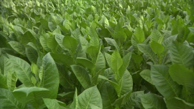 cu pan view of tobacco field / san luis, pinar del rio, cuba - tobacco crop stock videos & royalty-free footage