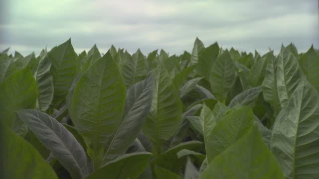 ms td view of tobacco field / san luis, pinar del rio, cuba - tobacco crop stock videos & royalty-free footage
