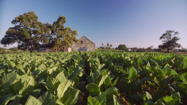 ws view of tobacco field / san luis, pinar del rio, cuba - tobacco crop stock videos & royalty-free footage