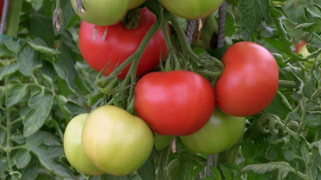 cu view of tomato at plants / serrig, rhineland-palatinate, germany - einige gegenstände mittelgroße ansammlung stock-videos und b-roll-filmmaterial