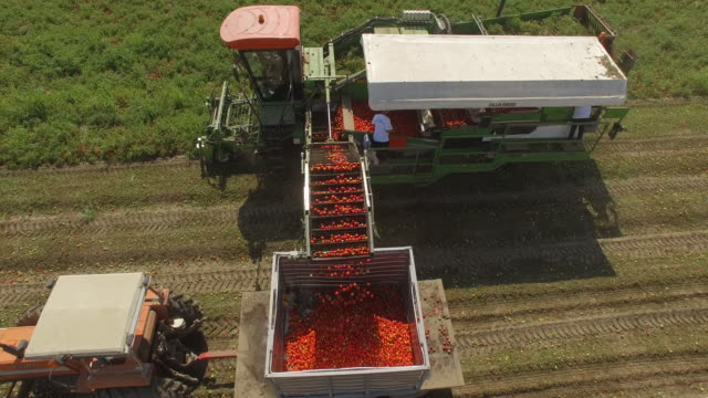 aerial view of tomato harvest in late summer - tomato stock videos & royalty-free footage