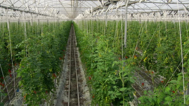 vidéos et rushes de ws pan view of tomato vines in greenhouse / malaga, spain - spain