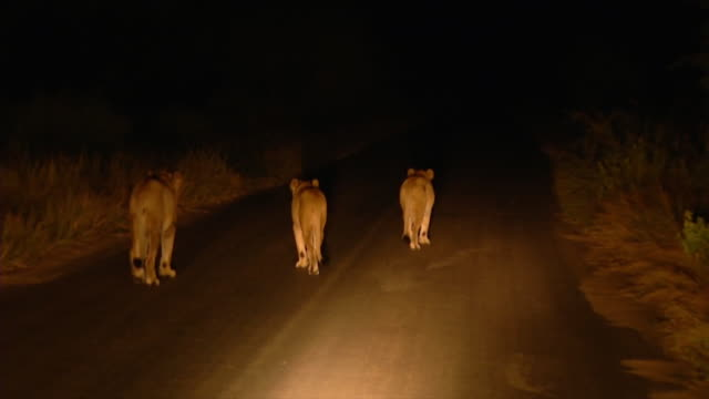 vídeos de stock, filmes e b-roll de ws ts view of torch light following three lionesses along dirt road at night / kruger national park, mpumalanga, south africa - três animais