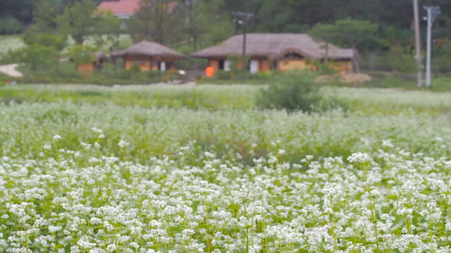 WS R/F View of traditional house (birthplace of  novelist in Korea named Ihyoseok) behind  buckwheat flower bed / Pyeongchang, Gangwon do, South Korea