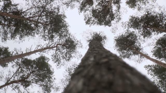 stockvideo's en b-roll-footage met ws slo mo view of tree tops of pine trees / berlin, germany - laag camerastandpunt
