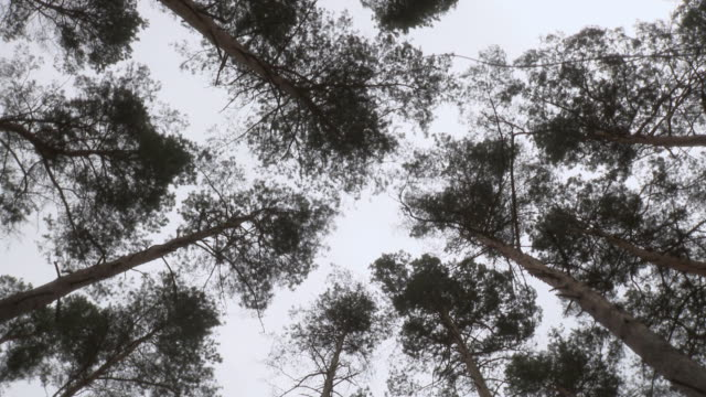 WS SLO MO View of Tree tops of pine trees / Berlin, Germany