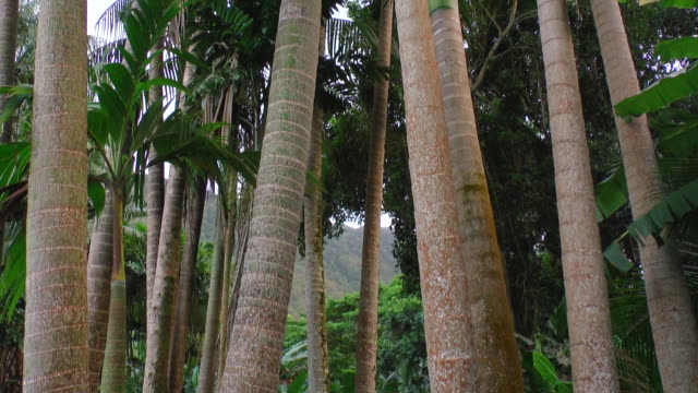 vidéos et rushes de ms tu view of tree trunks to full palm trees against sky / hawaii, united states - bananier