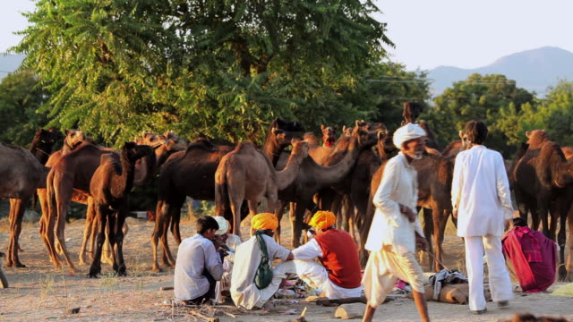 ws view of tribesmen gathering with camel herds / pushkar, rajasthan, india  - herding stock videos & royalty-free footage