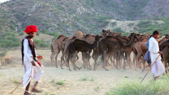 WS View of Tribesmen with camel herds at camel fair / Pushkar, Rajasthan, India