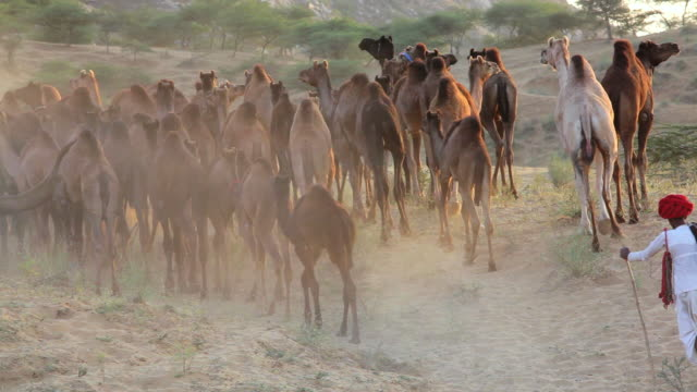 ws view of tribesmen with camel herds at camel fair / pushkar, rajasthan, india  - rajasthan stock videos and b-roll footage