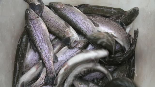 vídeos de stock, filmes e b-roll de cu view of trout / trassem near saarburg, rhineland-palatinate, germany - grupo grande de animais
