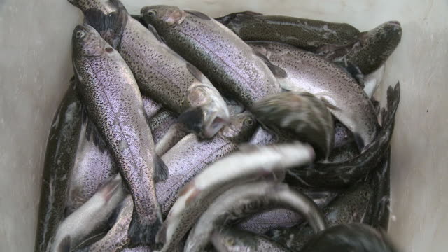 cu view of trout / trassem near saarburg, rhineland-palatinate, germany - large group of animals 個影片檔及 b 捲影像