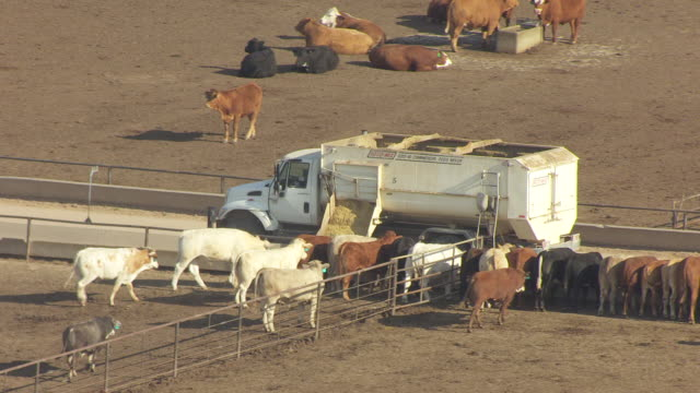 ms aerial ts view of truck feeding cattle food in ford county / kansas, united states - ford truck stock videos and b-roll footage