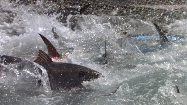 vídeos de stock e filmes b-roll de view of tunas caught in a fishing net in the mediterranean sea - atum peixe
