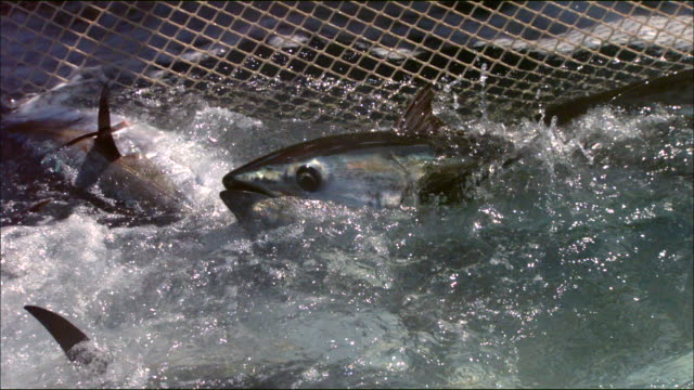 view of tunas caught in a fishing net in the mediterranean sea - netting stock videos & royalty-free footage
