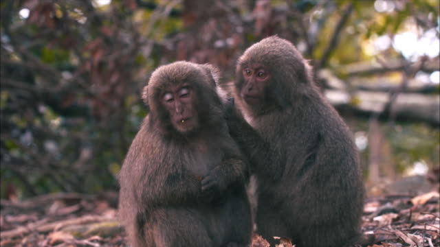 View of two baby Macaca fuscatas