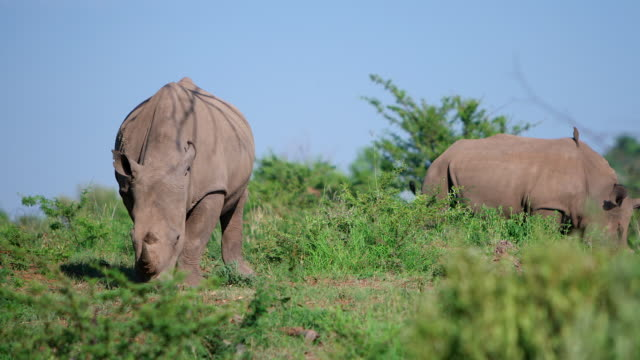 WS View of  two Black Rhino grazing / Pilanesberg, Gauteng, South Africa