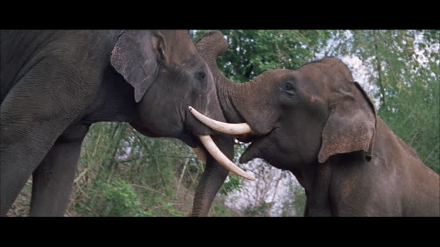 MS POV View of two bull elephants pushing each other
