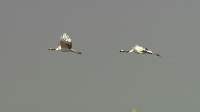 view of two cranes (bird) flying - 2匹点の映像素材/bロール