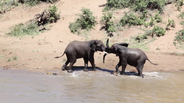 ms view of two elephant play fighting in out of water / kruger national park, limpopo, south africa - play fight stock videos and b-roll footage