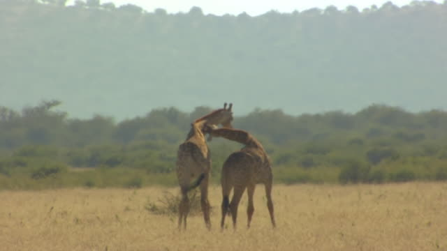 WS View of Two giraffes fighting, Pilanesberg Game Reserve / North West Province, South Africa