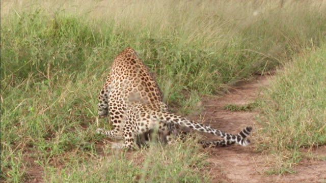 ws zi zo ts view of two leopards greeting each other / kruger national park, mpumalanga, south africa - provinz mpumalanga stock-videos und b-roll-filmmaterial