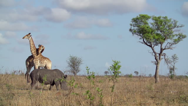 WS  SLO MO View of Two male Giraffes fighting with rhino and Marula tree in back side  / Kruger National Park, Mpumalanga, South Africa