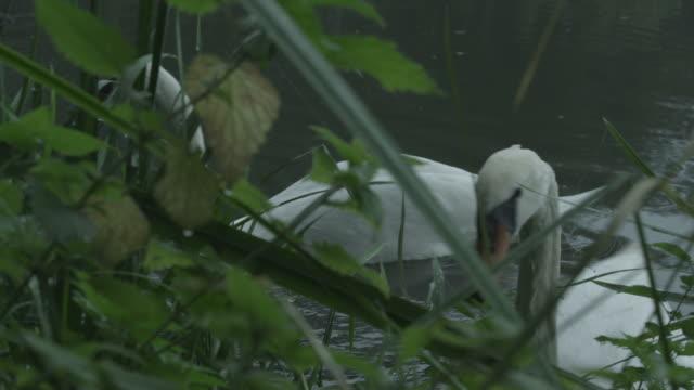 stockvideo's en b-roll-footage met cu ds view of two mute swans on river bank / godalming, surrey, uk - knobbelzwaan