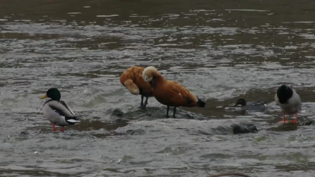 view of two ruddy shelducks grooming and small group of mallard ducks on the river - mittelgroße tiergruppe stock-videos und b-roll-filmmaterial