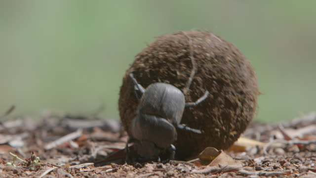 ws ts view of two scarab beetles rolling a ball of dung / pilanesberg, gauteng, south africa - 昆虫点の映像素材/bロール