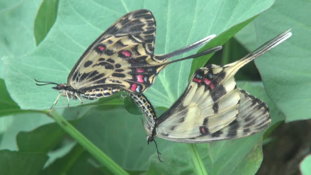 view of two sericinus montela gray (kind of butterfly) mating on a leaf living in daemosan mountain - lepidottero video stock e b–roll