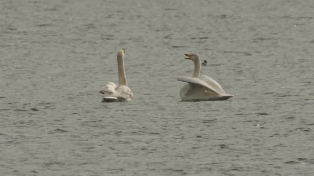 vidéos et rushes de view of two whooper swans on paldangho lake - petit groupe d'animaux