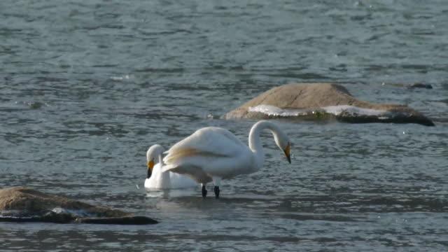 vidéos et rushes de view of two whooper swans searching prey on paldangho lake - petit groupe d'animaux