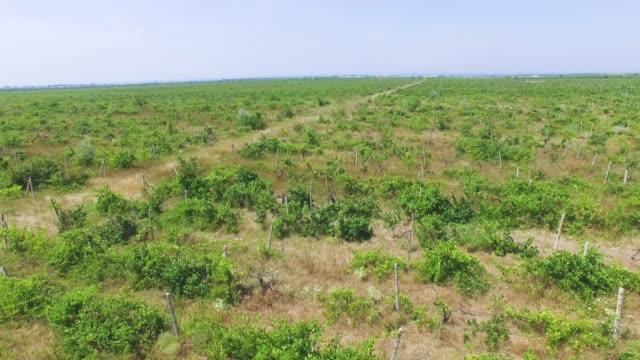 Antenne: Blick auf brachliegenden Weinberge in Sommertag