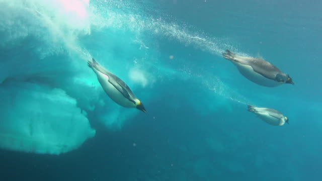 ws view of underwater emperor penguins dive in and swim across to right of frame / dumont d'urville station, adelie land, antarctica - diving into water stock videos & royalty-free footage
