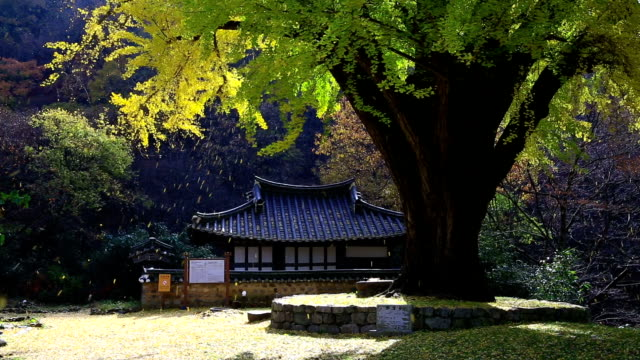 View of Ungok Seowon(Old Architecture) and Old ginkgo tree shed leaves in autumn