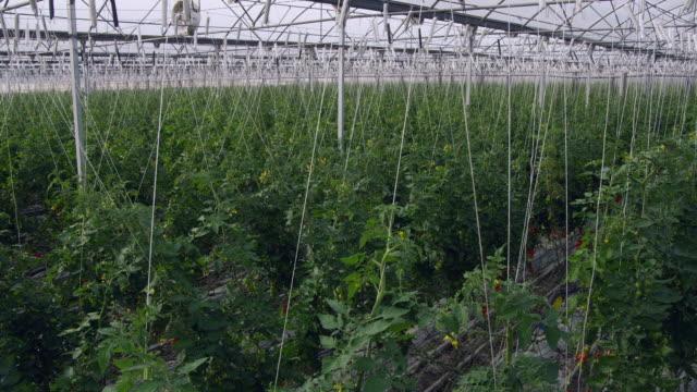 WS View of unripe tomato vines in greenhouse / Malaga, Spain