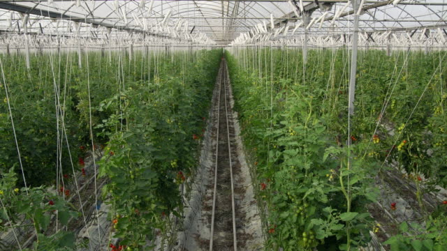 ws view of unripe tomato vines in greenhouse / malaga, spain - unripe stock videos and b-roll footage