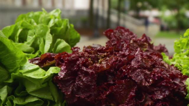 cu pan view of various type of lettuce at table /  burlington, vermont, usa  - burlington vermont bildbanksvideor och videomaterial från bakom kulisserna